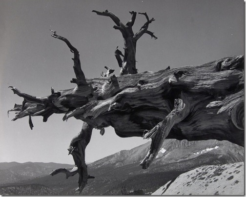 Ansel Adams_Fallen Tree, Kern River Canyon, Sequoia National Park, California